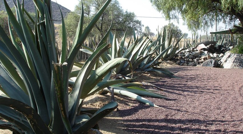 What is agave nectar and why it is no better thansugar