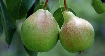 Why pear is good for you