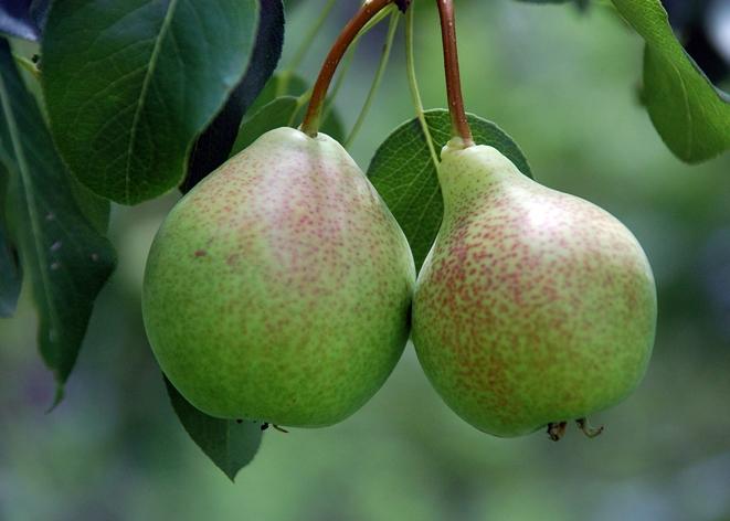 pear - Lena, Flickr